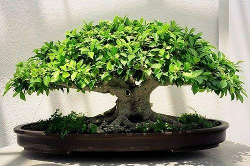 bonsai-2.jpg