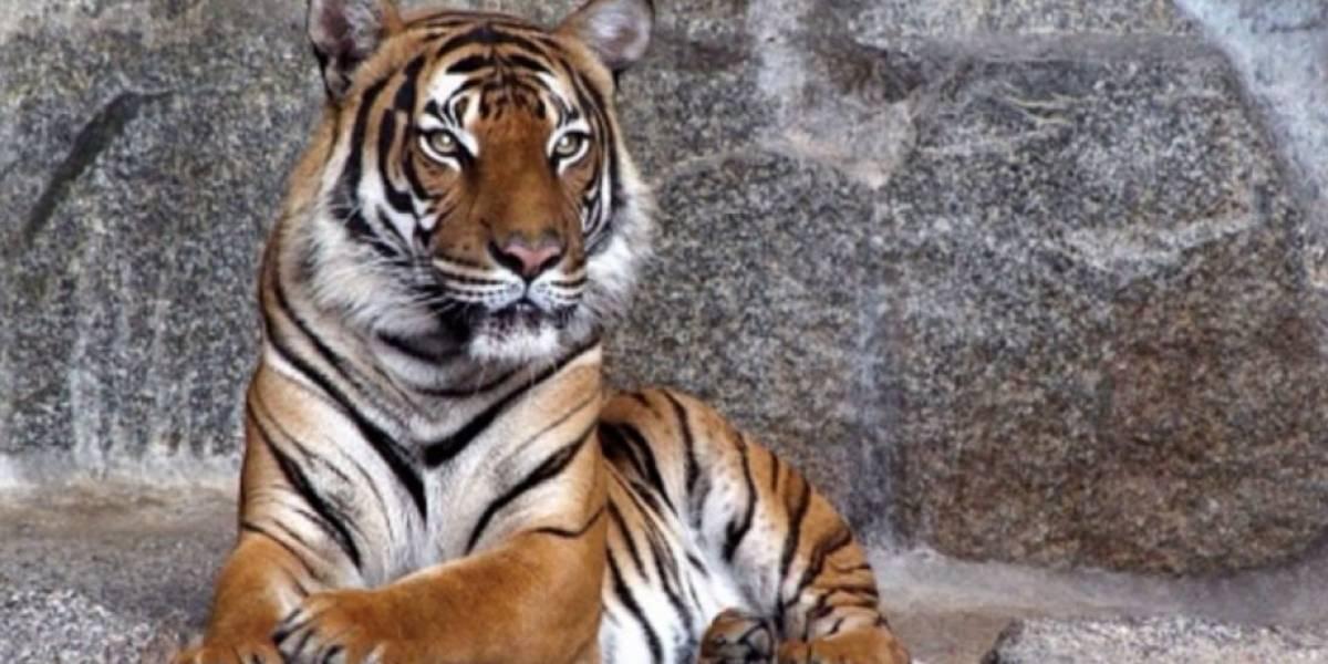 """Tigre """"renunció"""" a sus instintos al pedir ayuda a los humanos pero no pudo evitar el fatal desenlace y murió debido a sus enfermedades"""