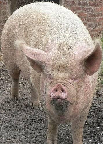 cerdo-1.jpg