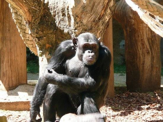 chimp550x412.jpg