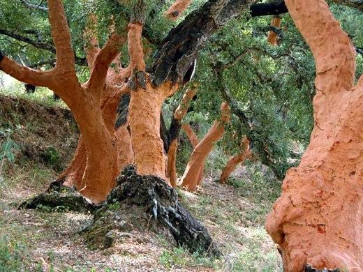 corkforest2.jpg