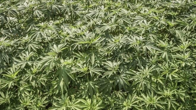 cultivomarihuana660x550.jpg