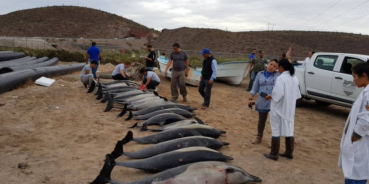 Encuentran a 54 delfines varados en una playa — México
