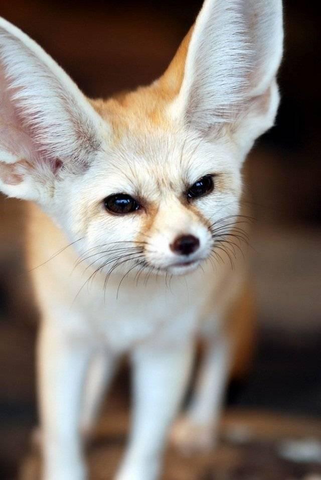 Tierno y orejudo zorro fénec [Animales Fantásticos ...