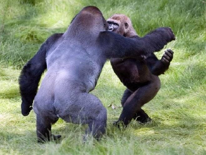 gorila1-1.jpg