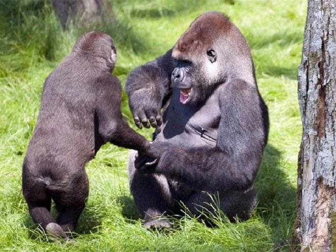 gorila2.jpg