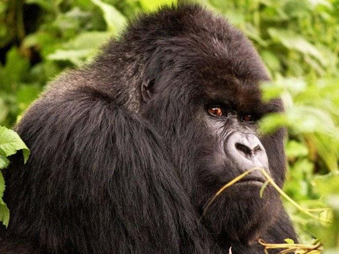 gorila660x495.jpg