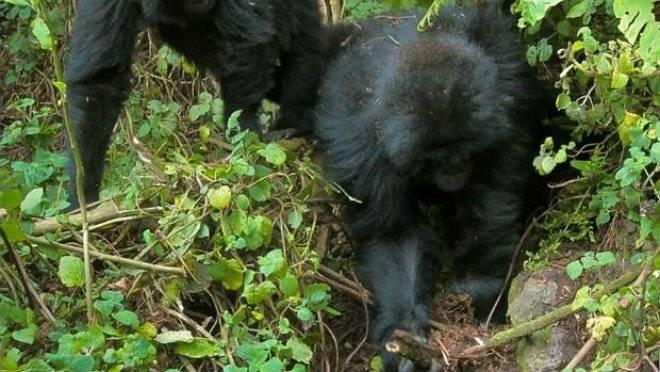 gorilas-5.jpg