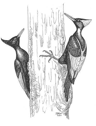 imperialwoodpecker004.jpg