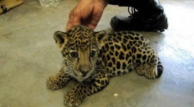 jaguarbebe660x550.jpg