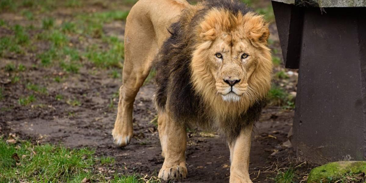 Revelan nuevos detalles de la dramática muerte de cazador que fue devorado por un grupo de leones en Sudáfrica