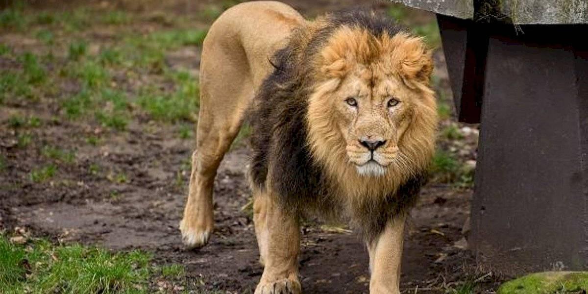 """Lo conocían como """"el hombre león"""": murió atacado por sus propios leones, los que había criado desde cachorros"""