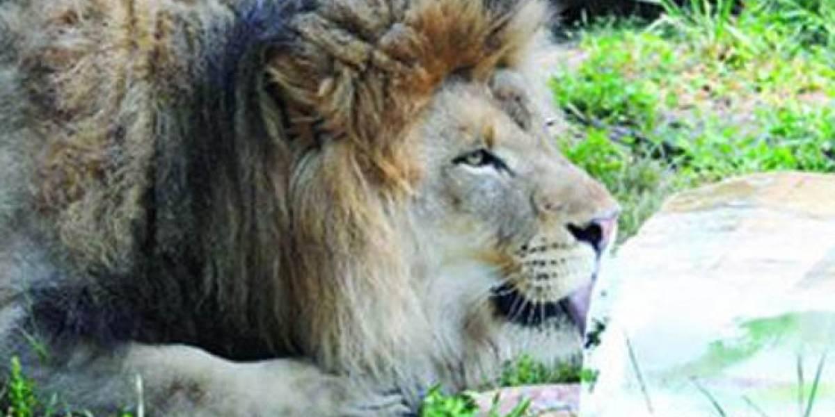 Manada de leones mata a un cazador en Sudáfrica