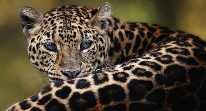 leopardodeamur.jpg
