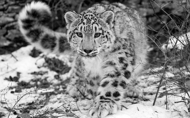 leopardodelasnieves.jpg
