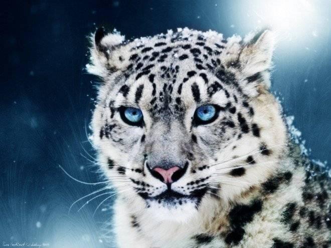leopardoenlanieve660x495.jpg