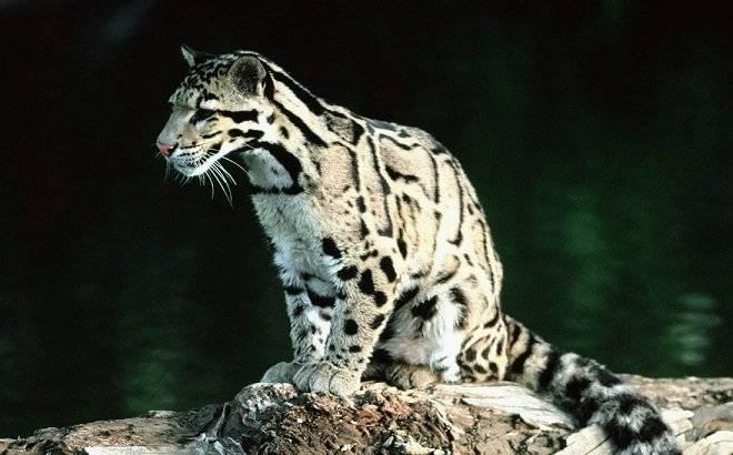 leopardonublado.jpg