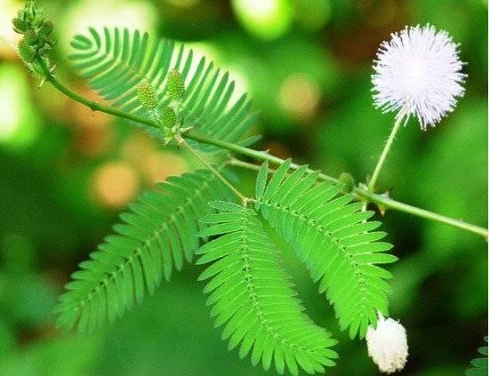 mimosa550x423.jpg