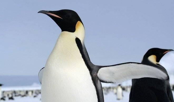 pinguinoemperador660x550-1.jpg