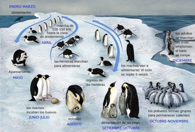 pinguinoemperadorvida660x550.jpg