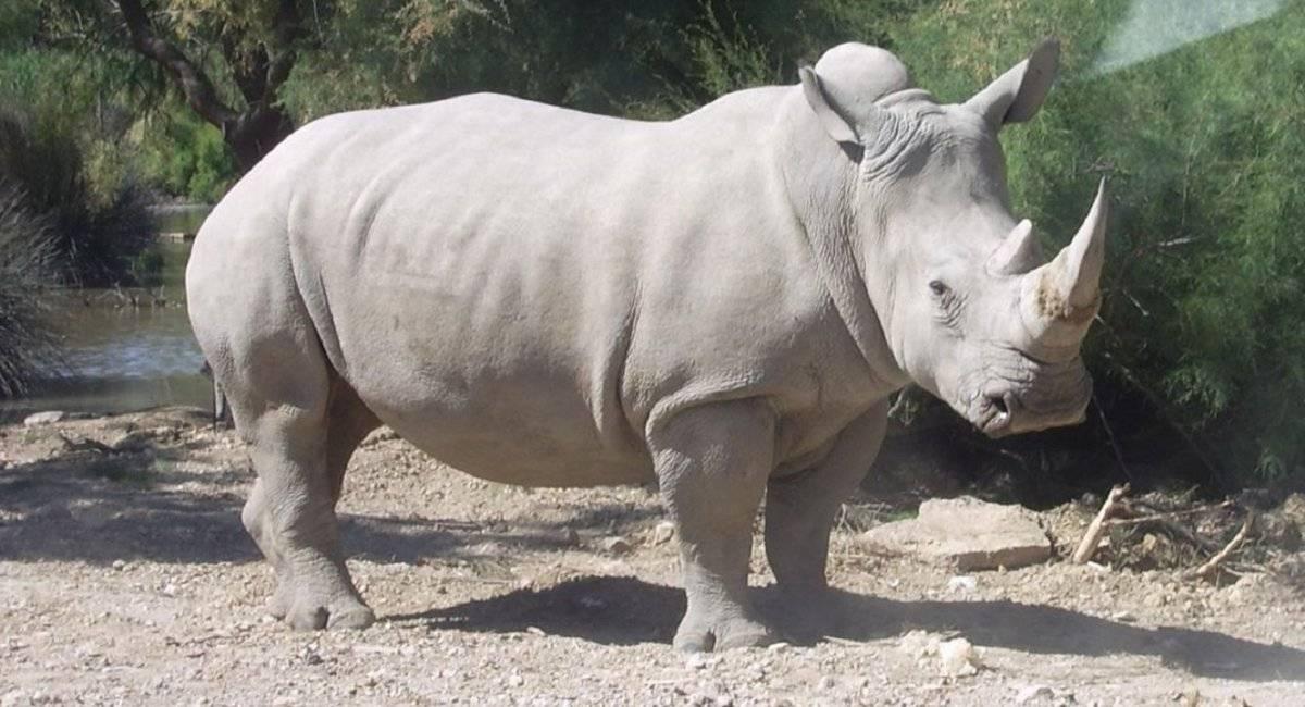 rinoceronteblanco.jpg
