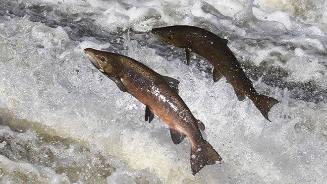 salmon660x550-2.jpg