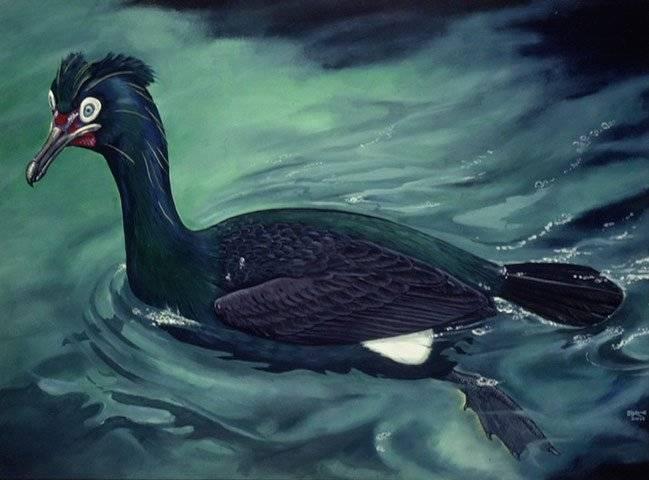 spectacledcormorant002.jpg