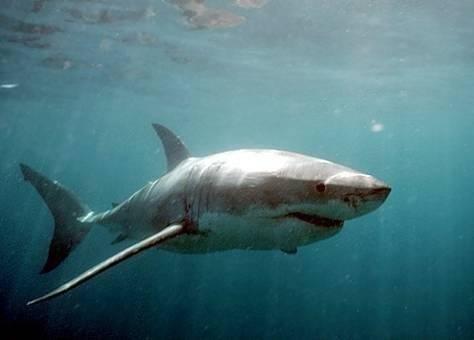 tiburon660x550-1.jpg
