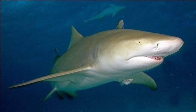 tiburonlimon660x550.jpg