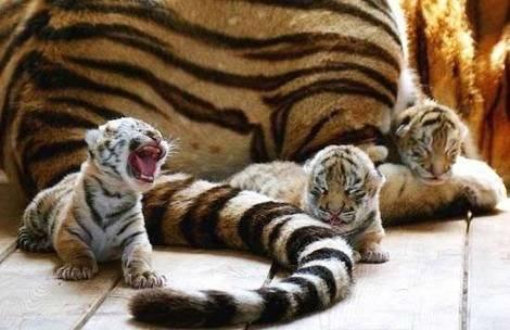 tigerstinybabies.jpg