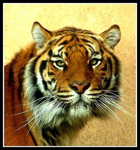 tigre-3.jpg