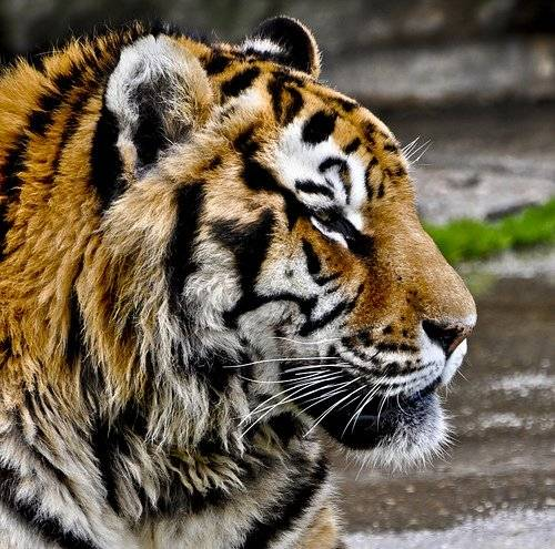 tigre-5.jpg