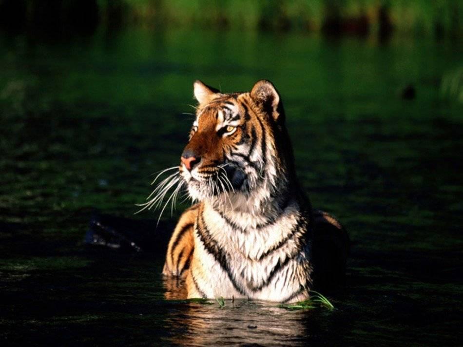 tigrealerta950x712.jpg