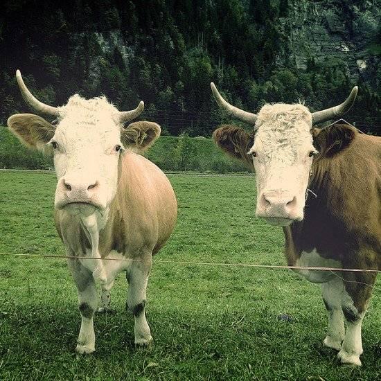 vacas550x550.jpg