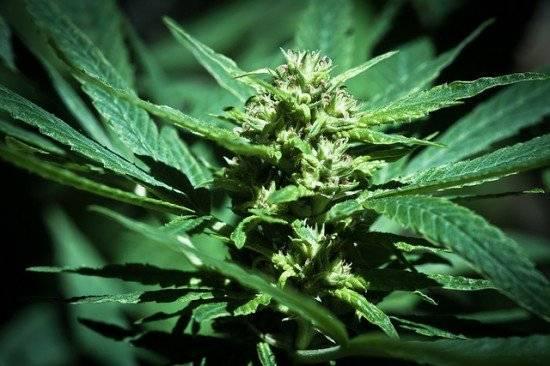 weed550x366.jpg