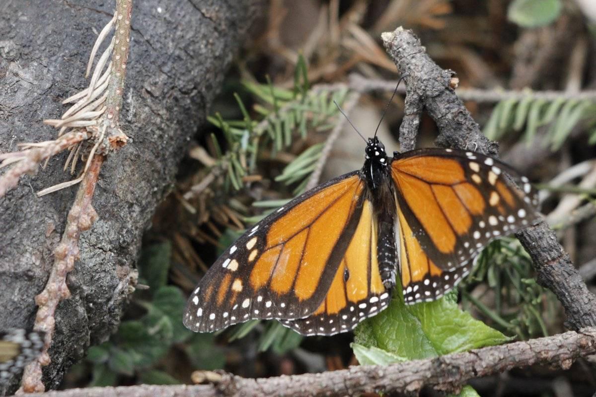 Visita el reino de las mariposas monarcas en Michoacán
