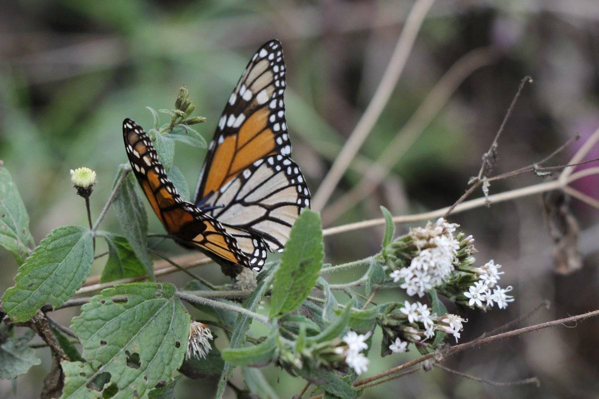 El reino de las mariposas monarcas en Michoacán