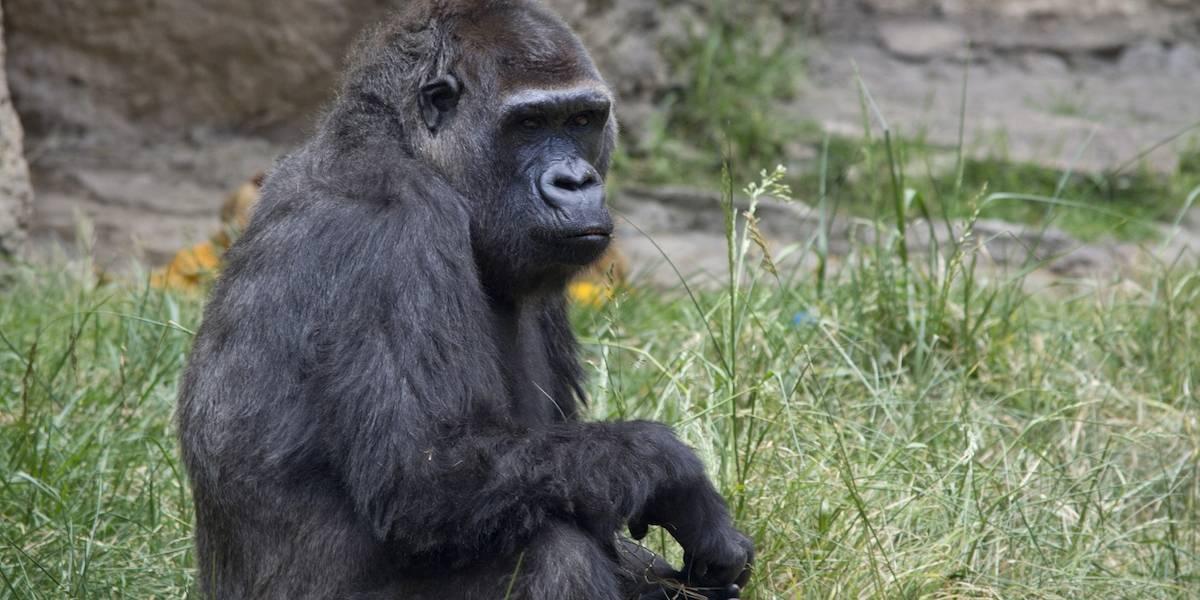 Muere Arila, la viuda del gorila Bantú en el zoológico de Zacango