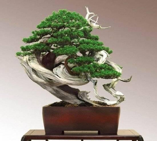 bonsai4550x496.jpg
