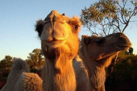 camelloaustralia550x367.jpg