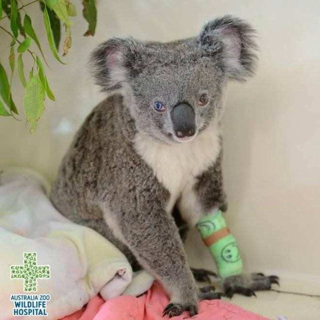 koalabowie.jpg