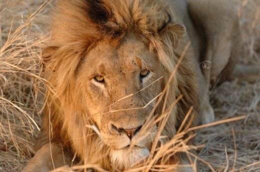 lion520x344.jpg