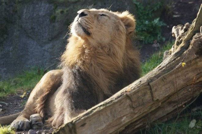 lion8594701280660x550.jpg