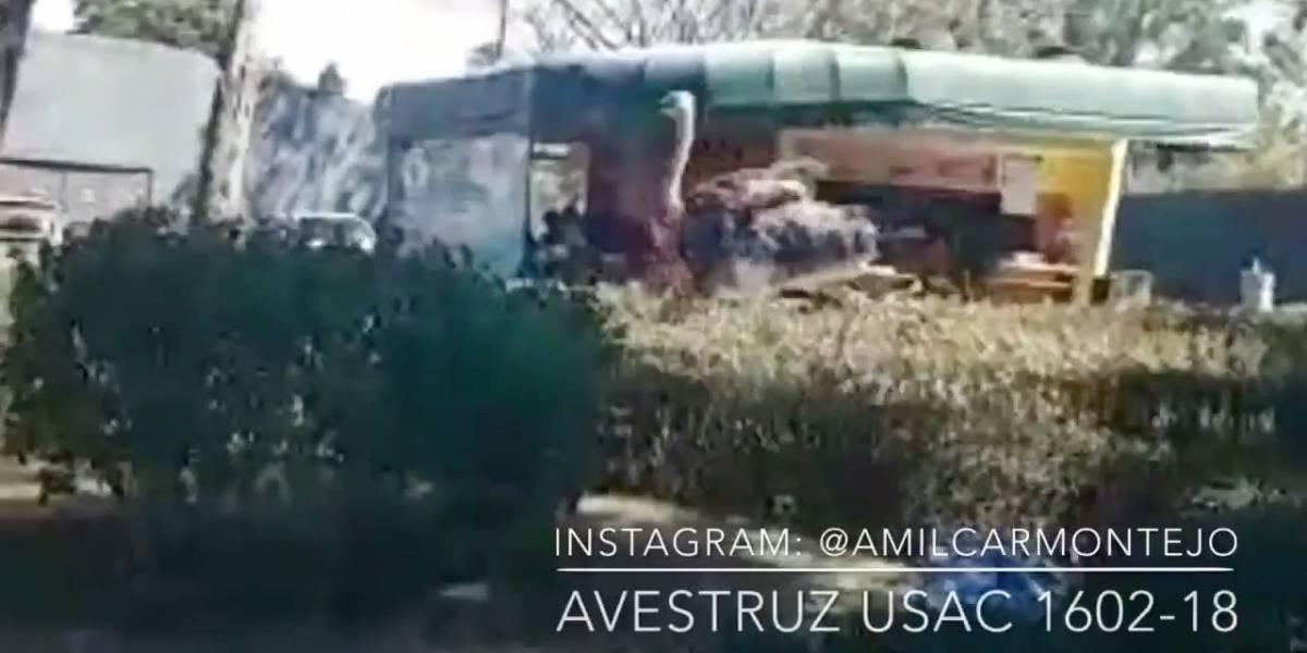 VIDEO. El avestruz que causó revuelo en la USAC