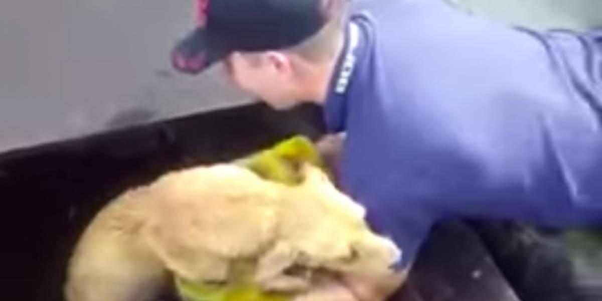 Viral vídeo de bombero rescatando a perrita de una alcantarilla