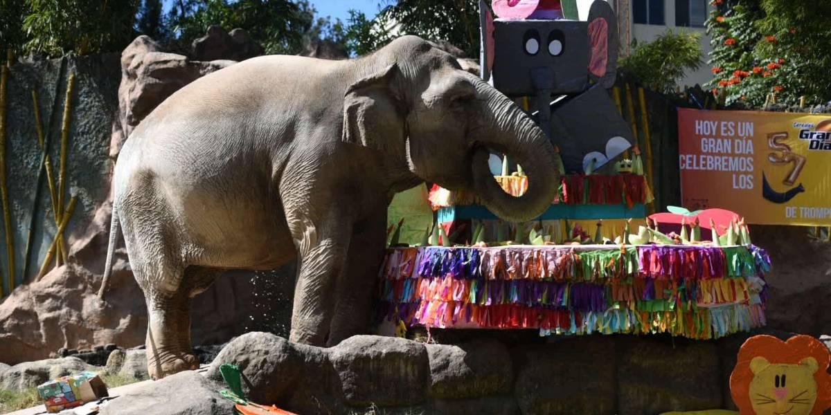"""""""Trompita"""" celebra 57 años con pastel de frutas en el Zoológico La Aurora"""