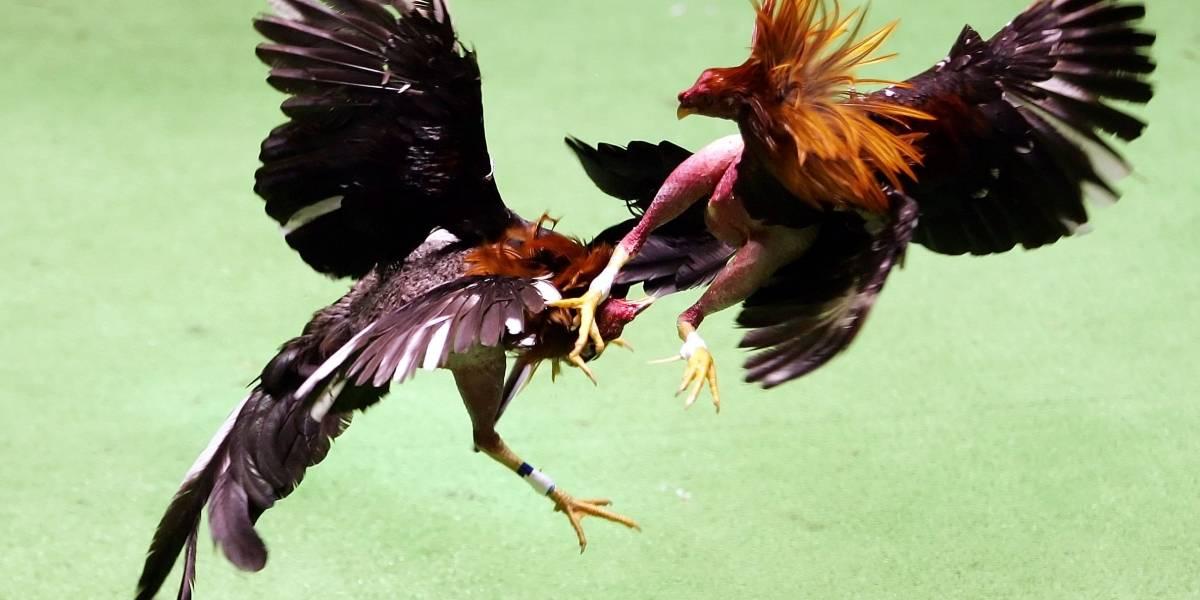 Proponen que Turismo promueva las peleas de gallos