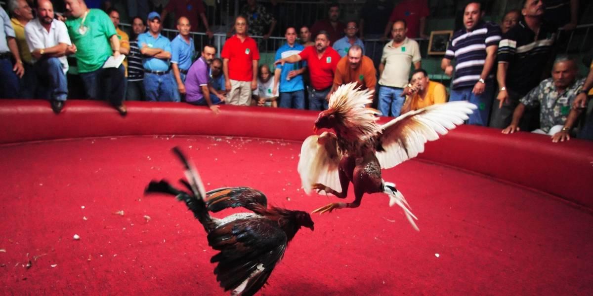 Congresistas no favorecen proyecto que contenía enmienda que prohibiría las peleas de gallos