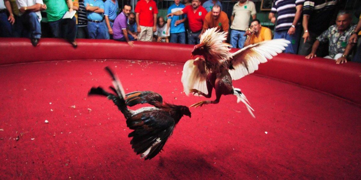 Presentan alternativas para revertir prohibición peleas de gallos