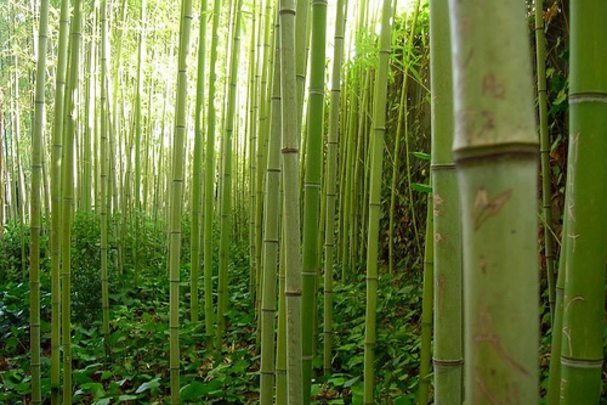 Tela de bamb veoverde nueva mujer - Como se planta el bambu ...
